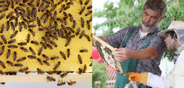 Méh megfigyelési pályázat kiírása Waldorf-intézményeknek